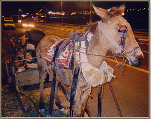 11/29/12: Israel Passes First Nationwide Ban On Cruel Horse-Drawn Carts