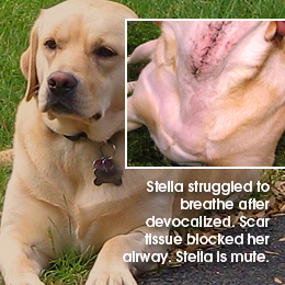 Stella struggled to breathe after devocalized. Scar 