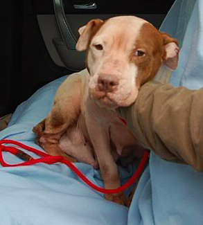 Michael Vick Dogs Injuries