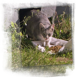 a starving gray white cat eats at an ARNO food water station 267x274