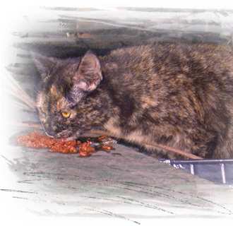 tortie cat hiding under gutted home is fed and documented in Upper 9th Ward West, NOLA 330x320