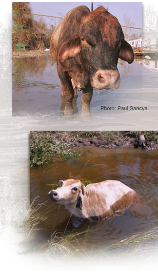 During Katrina and Rita cows were stranded atop levees, crowded on small dry spots, even found in trees 324x558