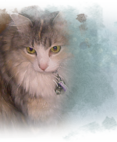 Beautiful Rebekkah, a rescued longhair tri tabby dilute cat 239x290