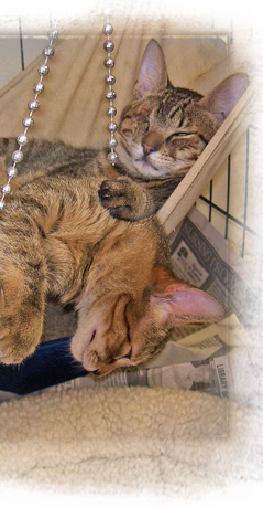 Rescued kittens at ARNO are fast asleep behind dangling Mardi Gras beads 239x460