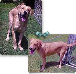 Sam, a Yellow Lab Mix, was found in Algiers post Katrina then sent through Humane Society Mississippi 268x261