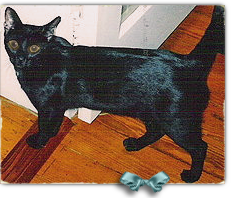 Noodles is a male black kitty that HSUS rescued in New Orleans, now lost in the system 239x198