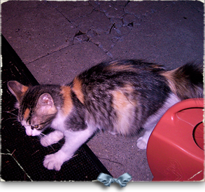 This gorgeous calico showed up meowing his little heart out under my home in Marigny 293x274