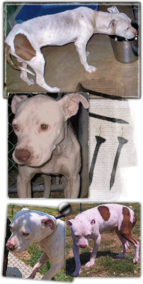 Batcher, a pit bull terrier who refused to fight and was then left to die, needs help 293x580