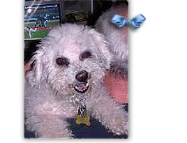 Wynnie, a white tan Bichon Frise Poodle, is found and her foster is searching for her guardians 268x205
