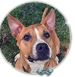 Minnie, an American Staffordshire Terrier mix, was found with her puppy in a worst hit Katrina area 239x245
