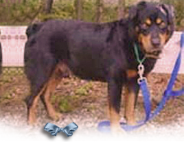 Beaumont, a male Rottie Australian Shep mix, was found in Sep 2005 around Lourdes Street, in New Orleans 268x207
