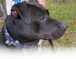 Josie is a Pit Bull Terrier Lab mix at ARNO who is eager to find an adoptive family 268x207