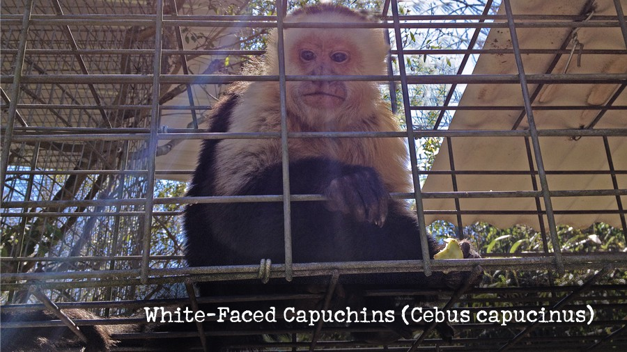 16_white-faced-capuchins