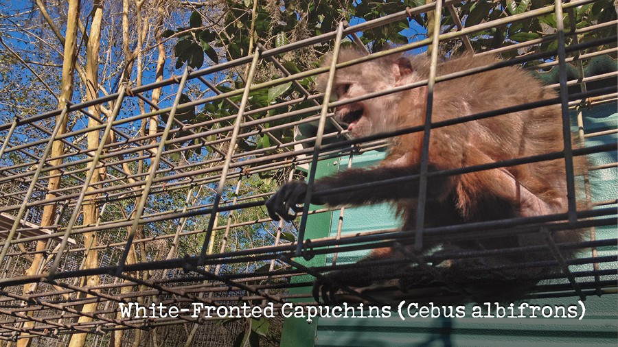 17_white-fronted-capuchins